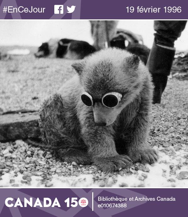 Photo d'un ourson polaire portant des lunettes dans un camp à l'île Southampton (Nunavut), au Canada, 1942-1944.