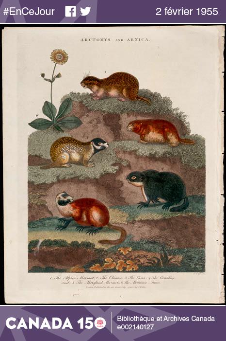 Selon la tradition, si la marmotte voit son ombre, l'hiver se prolongera pendant six semaines. Par contre, si elle ne voit pas son ombre et reste à l'extérieur, c'est que l'hiver est presque terminé.